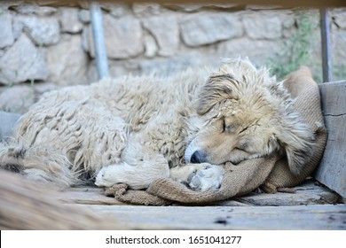 A stray white dog with long fur, dirty and tangled, sleeping warmly. On the sack resting on the wooden floor Choose to focus on the dog's face.