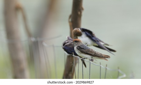 A streak throated swallow perched