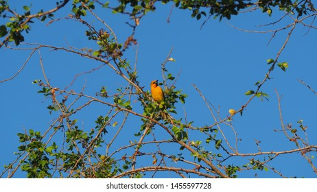 Streak-backed Oriole resting on a branch in the sun