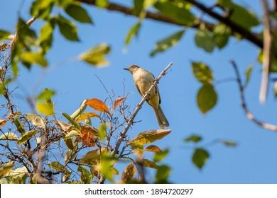 Streak-eared Bulbul (Pycnonotus blanfordi) bird on dry tree branch.