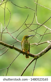 Streaked Spiderhunter perching on perch, sticking out its tongue isolated on blur green background