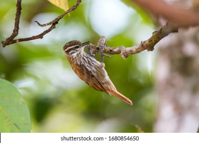 Streaked Xenops photographed in Caparao, Espirito Santo. Southeast of Brazil. Atlantic Forest Biome. Picture made in 2018.