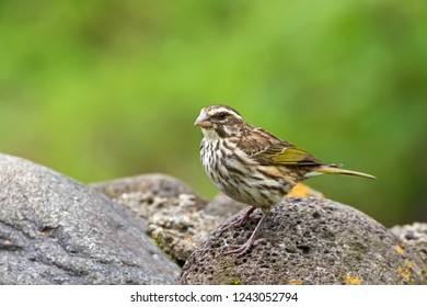 Streaky seedeater perching on stone at Ngorongoro Crater in Tanzania, East Africa (Crithagra striolatus)