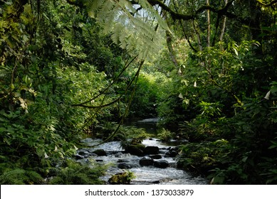 A stream in the dense rain forest of Bwindi Impenetrable Forest, Uganda; Africa.