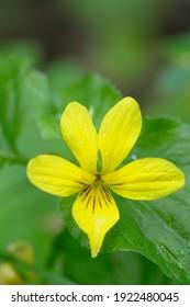 Stream Violet (Viola glabella), Cowichan Valley, Vancouver Island, British Columbia, Canada