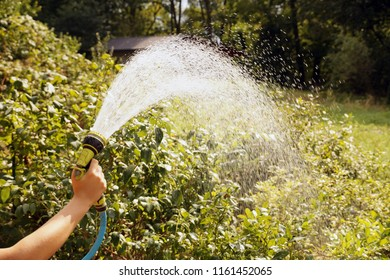 A stream of water. Watering blueberry shrubs with a watering gun.