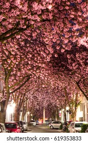 Street in Bonn at night, covered by Cherry Blossoms