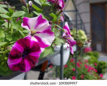 Street cafe flowers and herbs decor concept. Petunia flowers at the cafe on the street. Sunny day. Shallow depth of field.