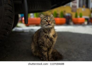 A street cat below car in Istanbul, Turkey.