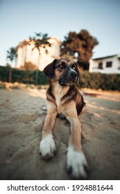 Street dog with eyes of different colors. Dog with green and blue eyes. Loyal street puppy during summer evening