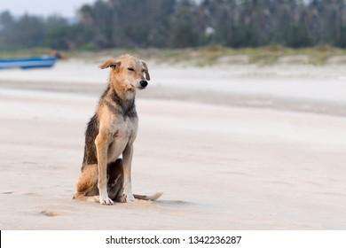 Street dogs play in Arambol beach in North Goa.India