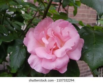 Street flower pink rose in Amsterdam
