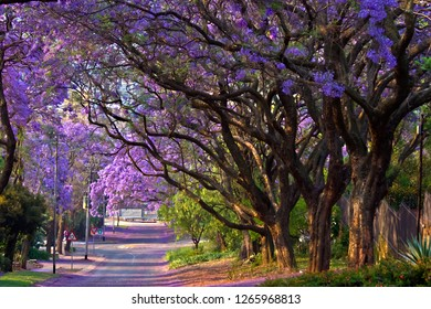 Street full of jacaranda trees. Purple colour. October month. Pretoria, South Africa
