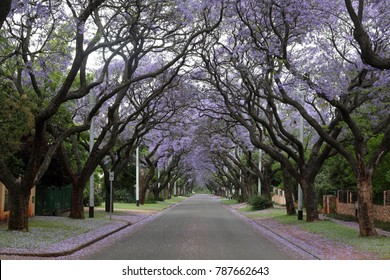 Street lined with Jacaranda trees in Pretoria South Africa during Spring