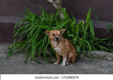 A street, miniature dog sits on the sidewalk. Homeless dog.