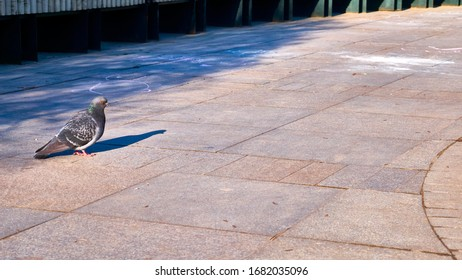 street pigeon in a city park