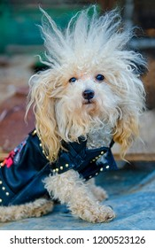 Street smart tough poodle with a biker jacket and wild hair