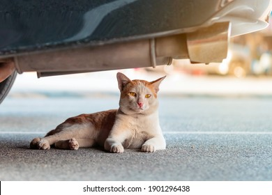 A street stray cat sit back to resting and looking something near exhaust pipe under a parked car in urban. Homeless animals concept. Dangerous for cats ,Caution