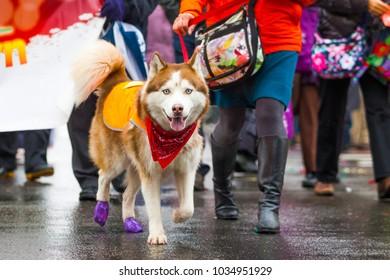 Street walking husky dog on a leash during rain day