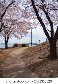 The streets of Yokohama with cherry blossoms in Kanagawa Prefecture, Japan. Yokohama MinatoMirai is an area facing Yokohama Port.