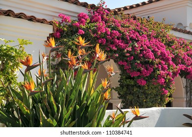 Strelitzia and bougainvillea