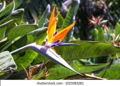 Strelitzia flower, bird of paradise, Funchal, Portugal. Madeira island botanical garden Monte.