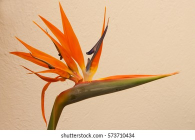 Strelitzia flower, one of the most beautiful tropical flower