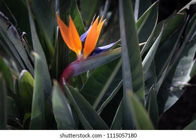 Strelitzia known as  bird of paradise flower