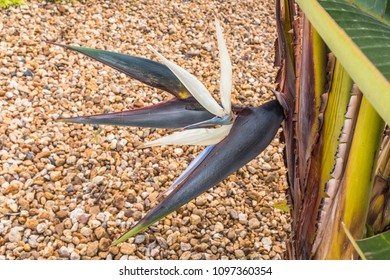 Strelitzia nicolai. Giant white Bird of Paradise flower
