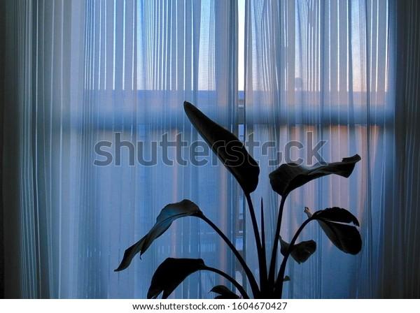 Strelitzia nicolai and sheer curtain.
