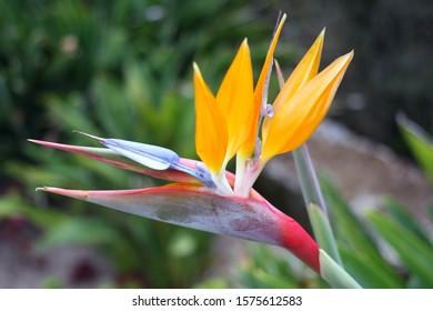 Strelitzia (Strelitzia reginae) or Bird of Paradise Flower in a park