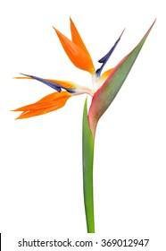 Strelitzia reginae, bird of paradise flower isolated on white background