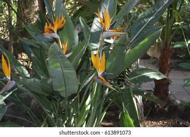 Strelitzia reginae (Bird of paradise) orange flowers.