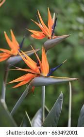 Strelitzia reginae, blossoms