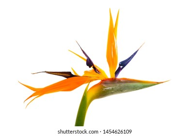 Strelitzia reginae, commonly known as the crane flower or bird of paradise. On white.