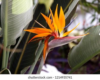 Strelitzia reginae. Crane flower. Bird of paradise. Flor ave del paraíso. Flor de inicio de los tiempos.