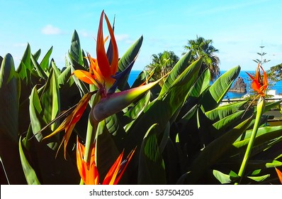 Strelitzia Reginae flower  (bird of paradise flower). Madeira island