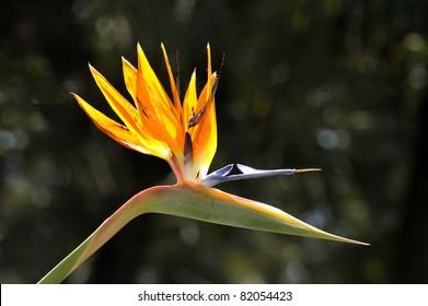strelitzia reginae flower in a botanical garden