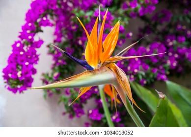 Strelitzia Reginae flower closeup. Bird of paradise flower