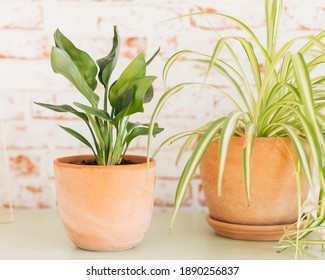 Strelitzia Reginae (left) and Chlorophytum Comosum (right) in terracotta plant pots against red and white brick wallpaper background.