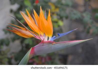 Strelitzia Reginae specimen , known as bird of paradise flower, in a garden of Tenerife, Canary islands