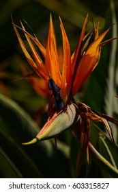 Strelitzia Royal rare plant. The Royal bird or bird of Paradise is the unofficial name of marvelous flower.