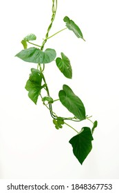 The strength of the morning glory vines intertwined with each other