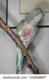 Stressed out blue pet bird on perch with Quaker Mutilation Syndrome and plucked out leg and chest feathers down to bare skin