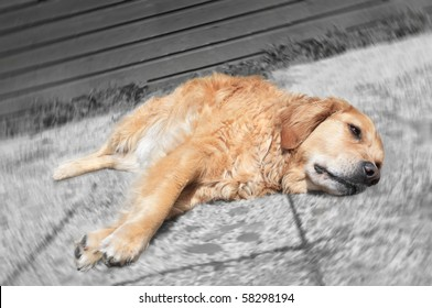 Stressed out, sick Golden Retriever dog on monochrome background