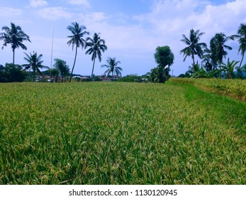 Stretch Of Yellowing Rice Field At Banjar Kuwum, Ringdikit Village, North Bali