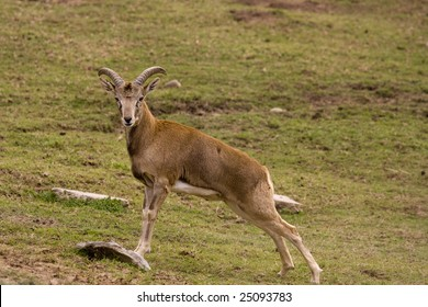 Stretching Asian Urial