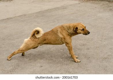 Stretching brown dog