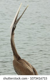 Stretching Brown Pelican