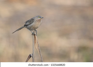 The Striated babbler